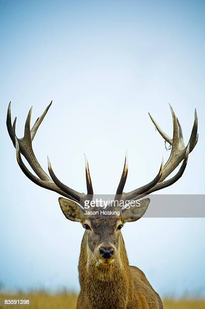 Close up of red deer stag (Cervus elaphus)