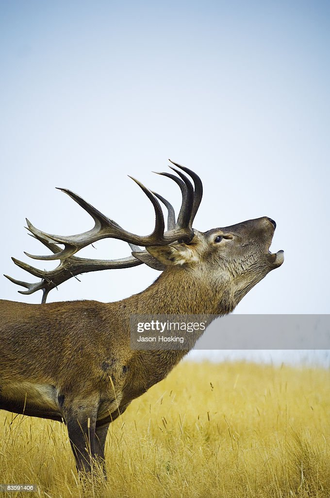 Close up of red deer stag roaring during rut