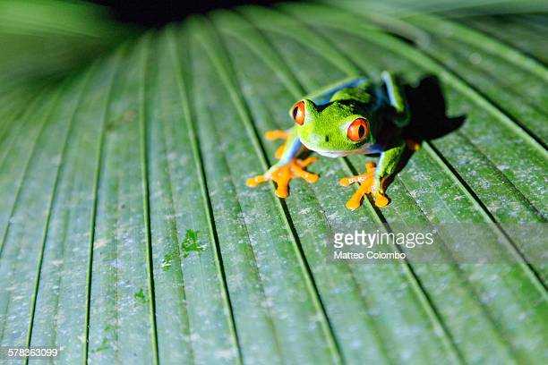 Close up of red eyed tree frog, Costa Rica