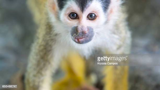 Close up of Red-backed Squirrel Monkey