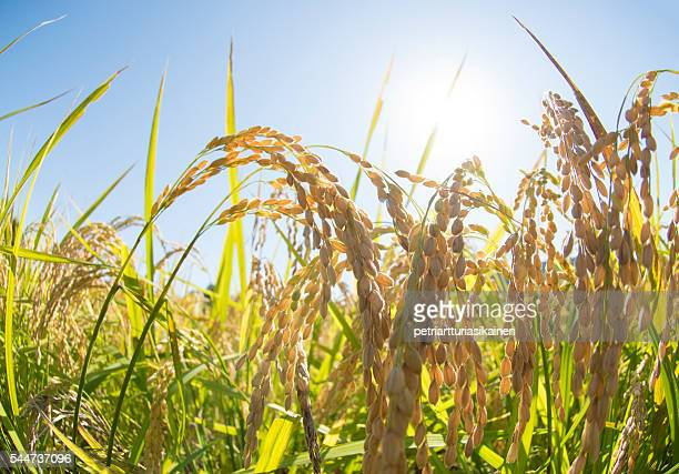 Close up of rice in rice field at sunlight