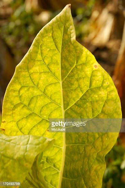 Close Up Of Ripening Burley Tobacco Leaf Nearly Ready For Harvest In The Bluegrass Area Of Kentucky USA