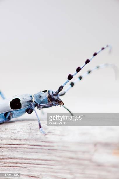 Close up of Rosalia longicorn bug