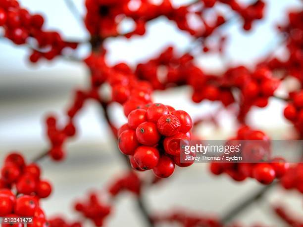 Close up of rowanberry