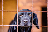 Close up of a dog in a shelter. A frightened and sad black dog staring out from a cage.