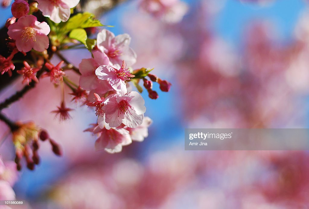 Close up of sakura / cherry blossoms : Stock Photo