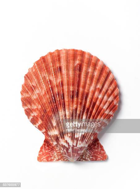 Close up of scallop shell on white