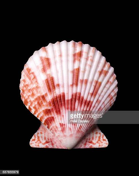 Close up of scallop shell