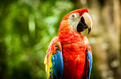 Close up of colorful scarlet macaw parrot