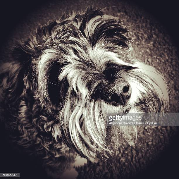 Close Up Of Scottish Terrier