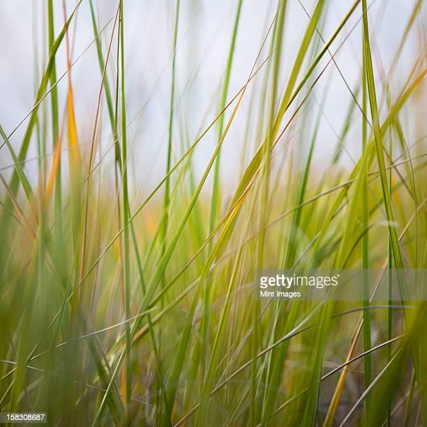 Close up of sea grasses on Long Beach Peninsula.