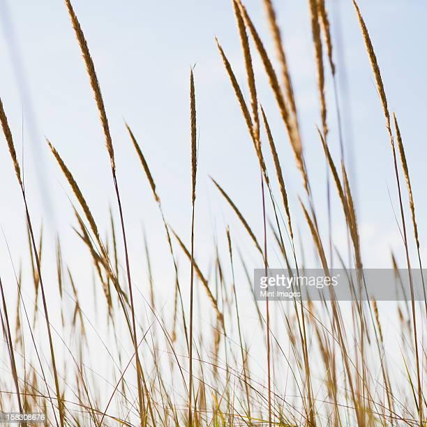 A close up of sea grasses or dune grasses on the Long Beach Peninsula, Washington, USA
