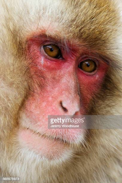 Close up of serious face of monkey