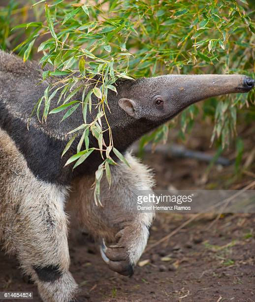 Close up of side view of Giant Anteater with focus on the eye of the animal. Myrmecophaga tridactyla