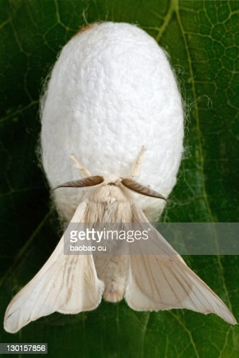Silk Moth Stock Photos and Pictures | Getty Images