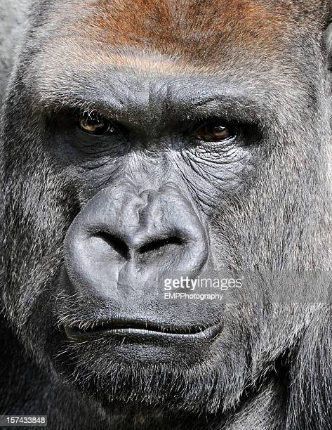 Close Up of Silver Back Gorilla's Face