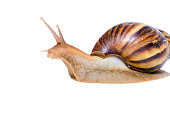 Close up of Snail isolated on white background.