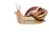 Close up of Snail isolated on white