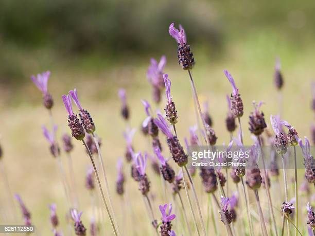 Close up of Spanish lavender (Lavandula stoechas)