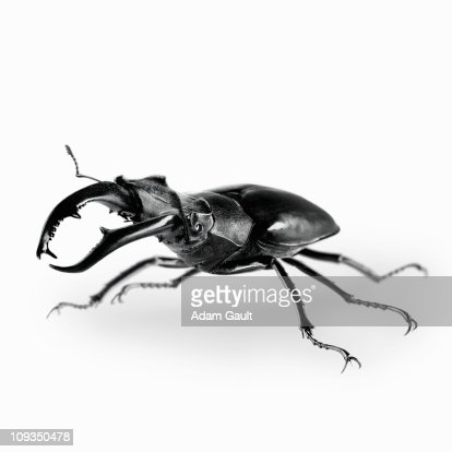 Close up of stag beetle