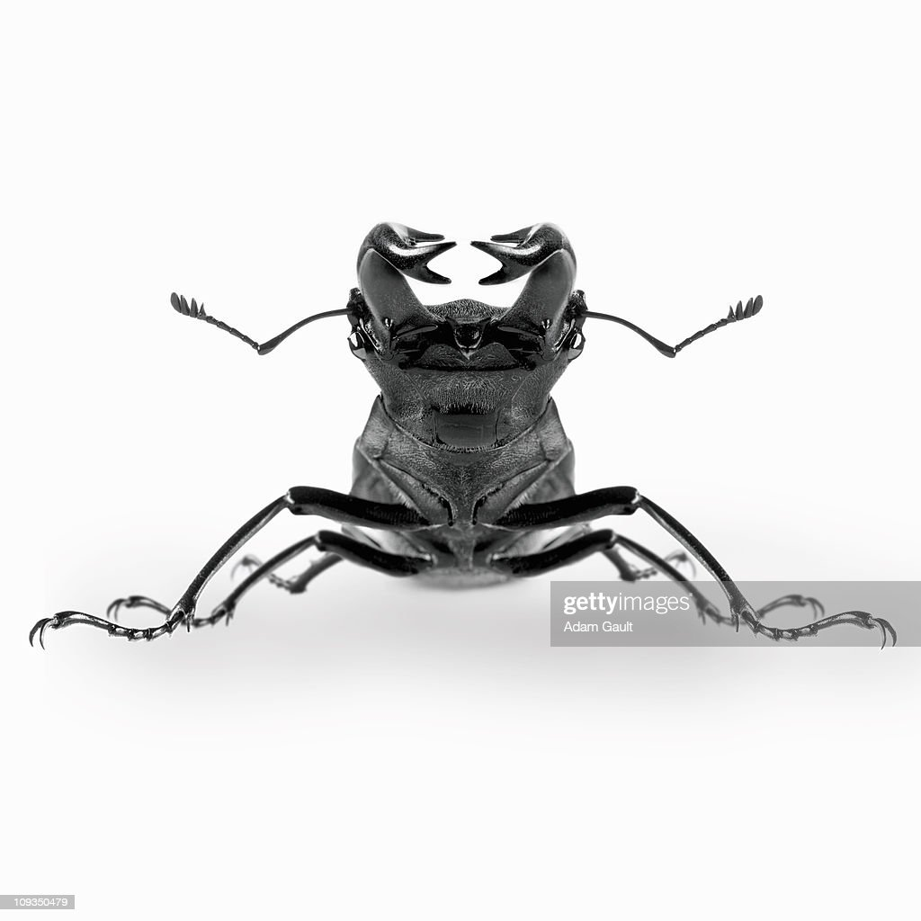 Close up of stag beetle : Stock Photo