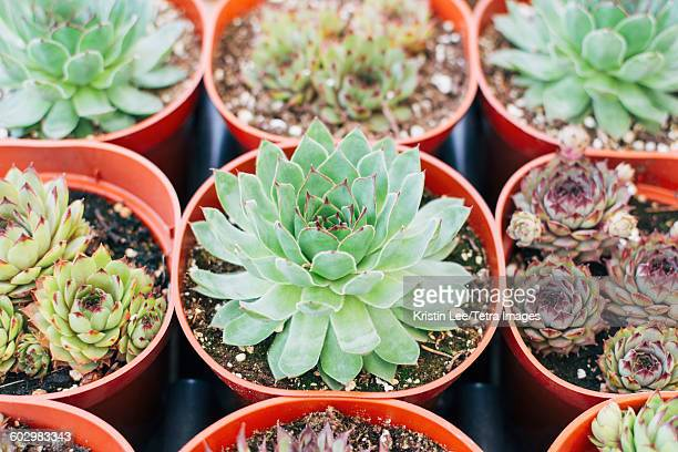 Close up of succulent plants in pots