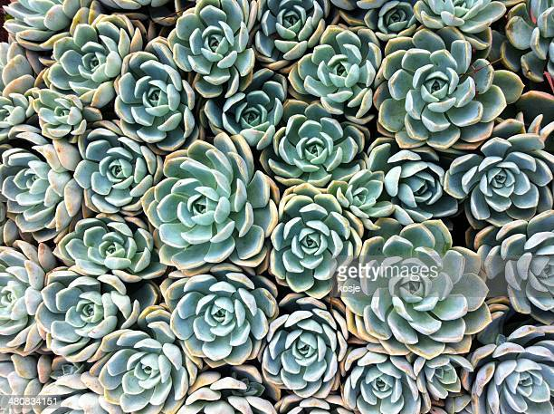 Close up of succulent plants
