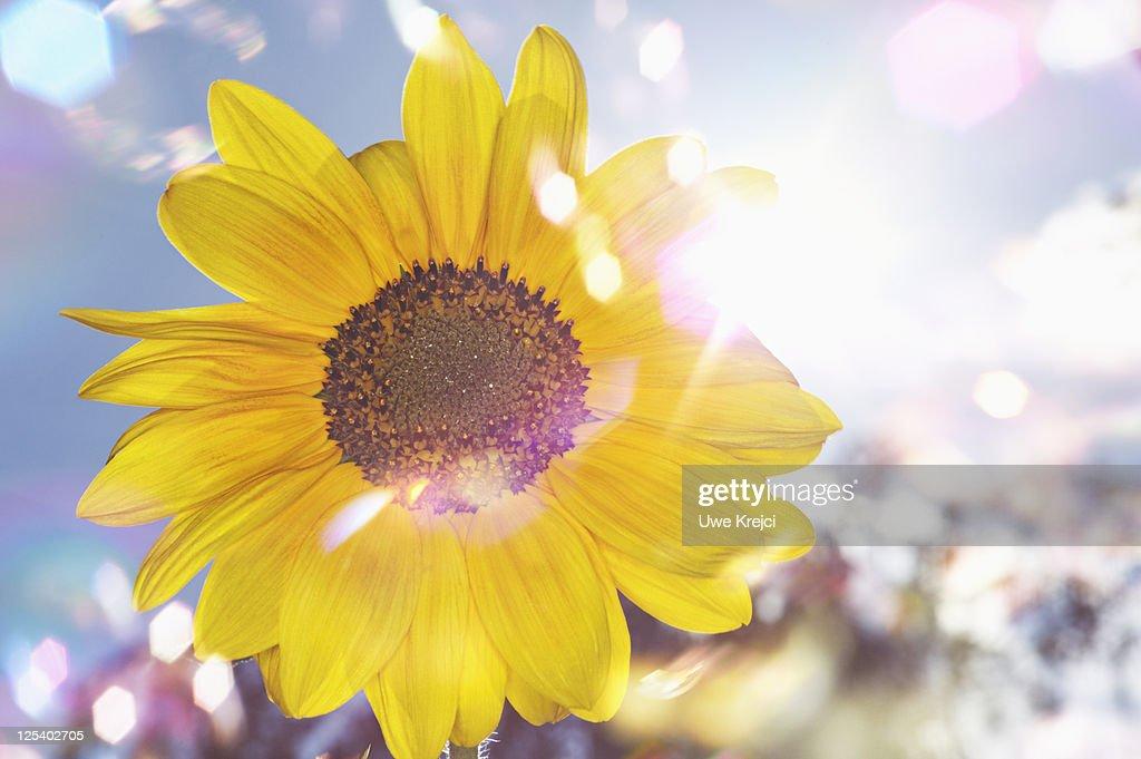 Close up of sun flower : Stock Photo