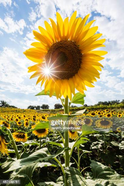Close up of sunbeams behind yellow sunflower in rural field