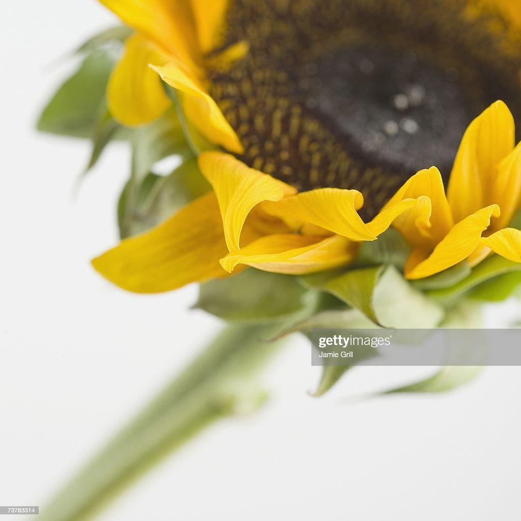 Close up of sunflower : Stock Photo
