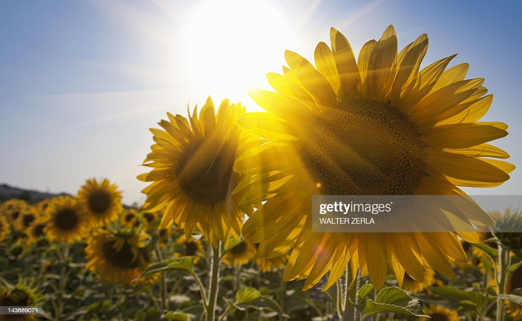 Close up of sunflowers in field : Stock Photo