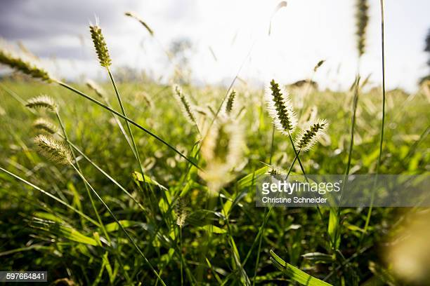 Close up of sunlit long grasses in field