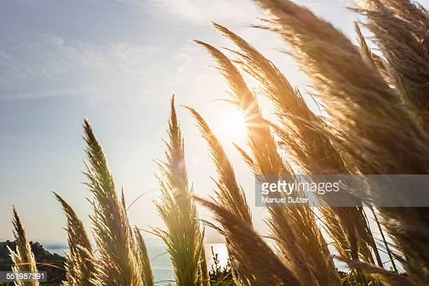 Close up of sunlit pampas grass, Erretegia beach, Bidart, France