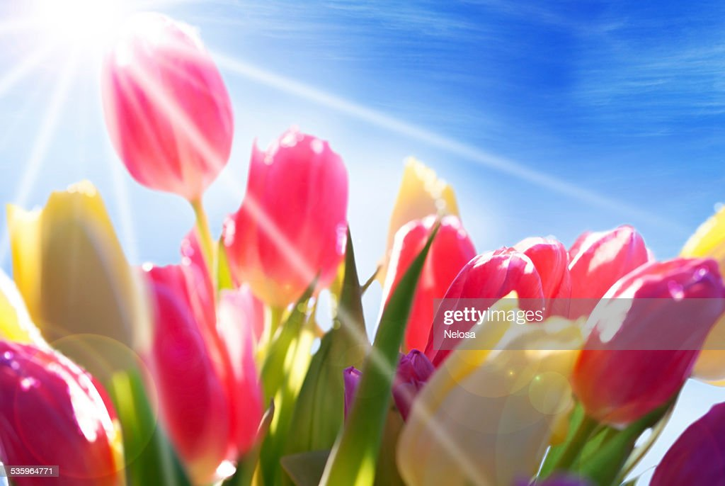Close Up Of Sunny Tulip Flower Meadow And Sky : Stock Photo
