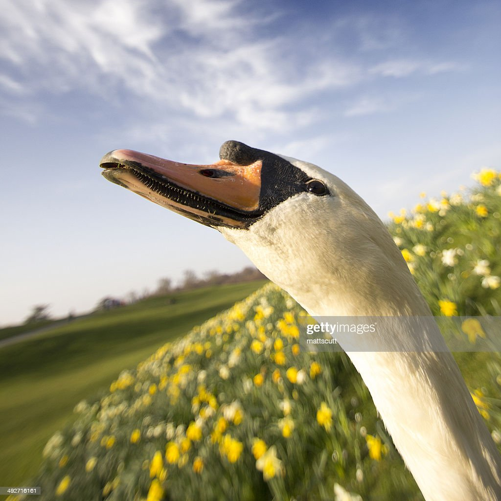 Close up of swan : Stock Photo