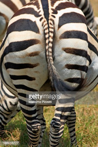 Close up of the back of a Zebra in Tanzania : Stock Photo