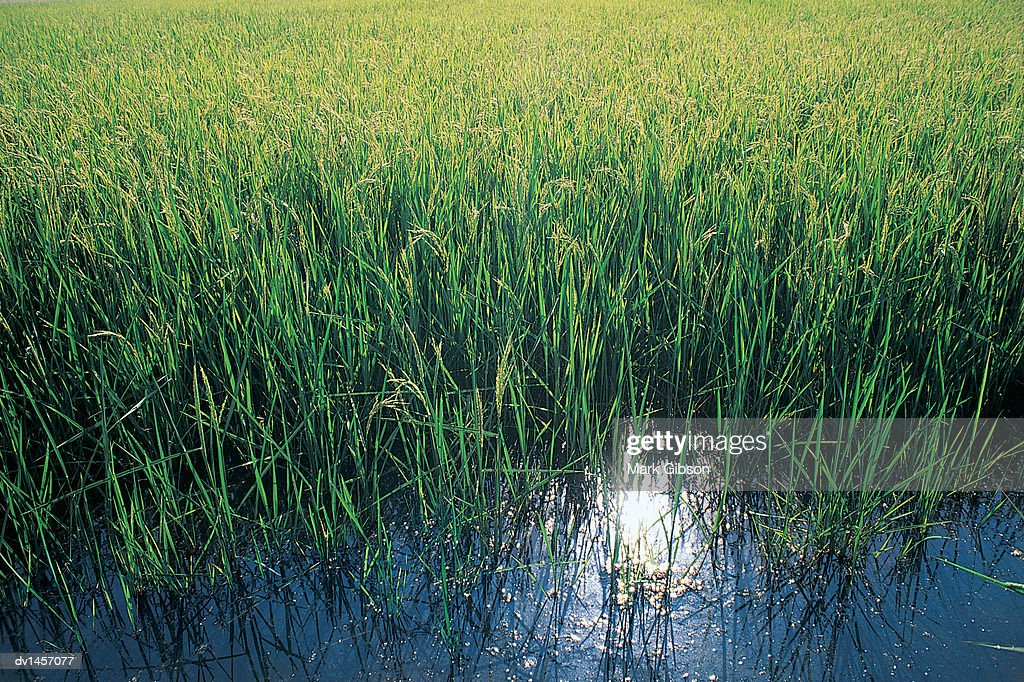 Close Up of the Edge of a Paddy Field : Stock Photo