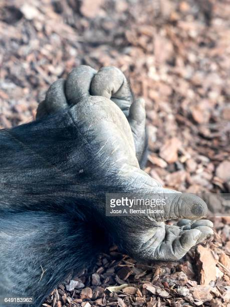 Close up of  the hand and a foot of a gorilla