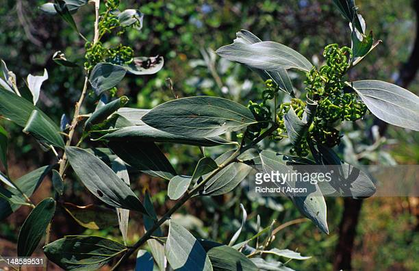 Close up of the leaf, nut and flower of the Acacia holosericera, known as Mandulk by the local community. This plant is used for soap and to treat skin infections.