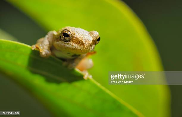 Close up of the reed frog perched on a leaf.