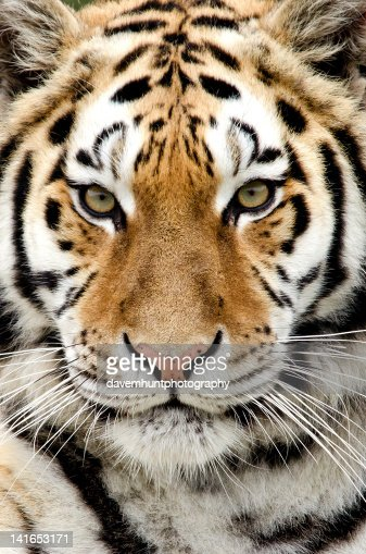 Close up of Tiger : Stock Photo