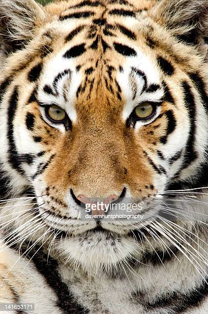 Close up of Tiger