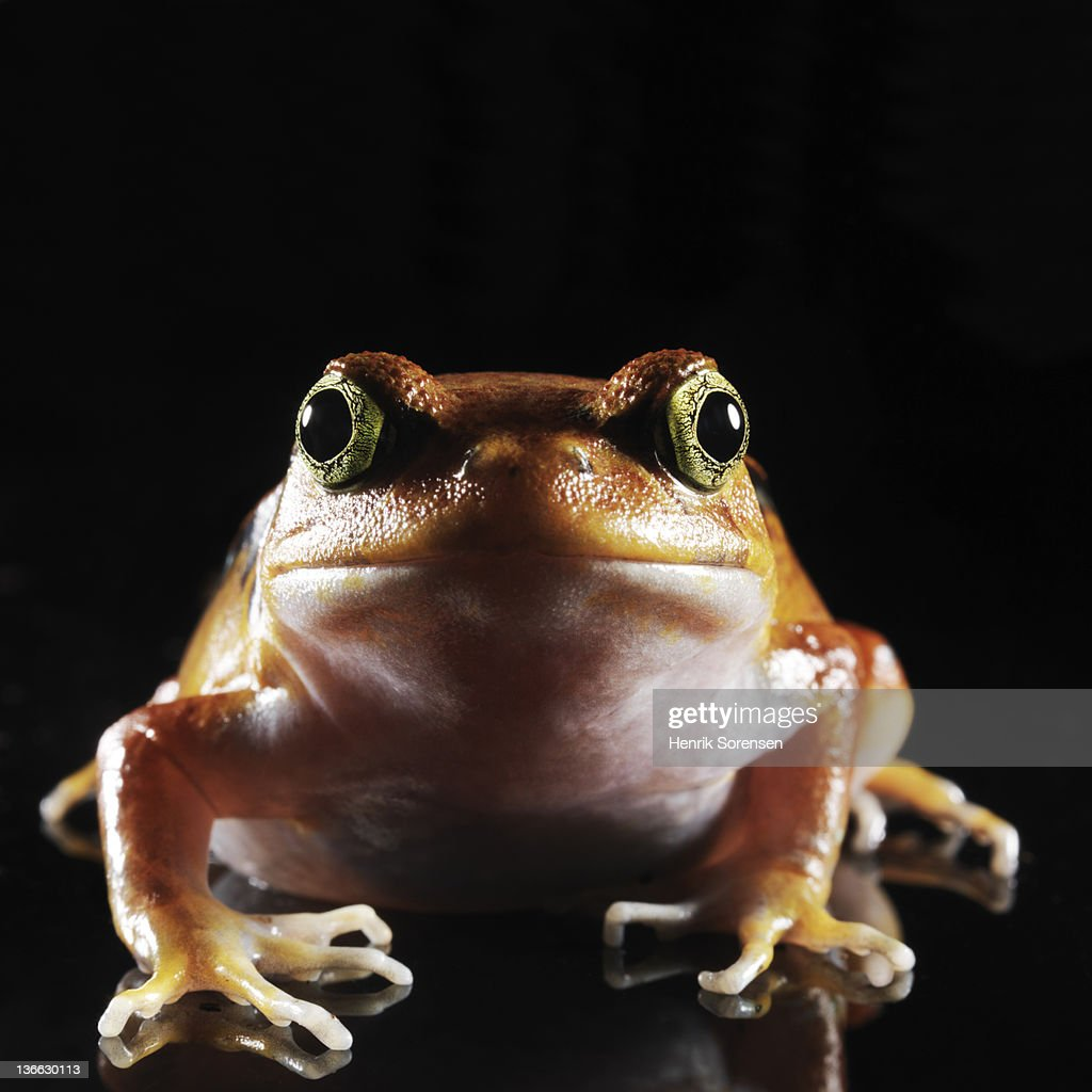 close up of tomato frog : Stock Photo