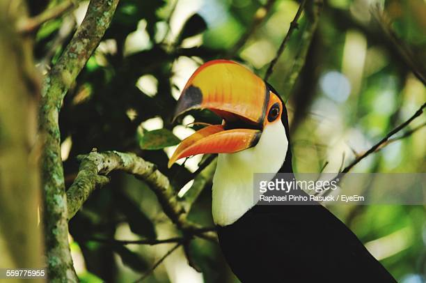 Close Up Of Toucan Perching On Tree