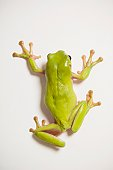 Close up of tree frog