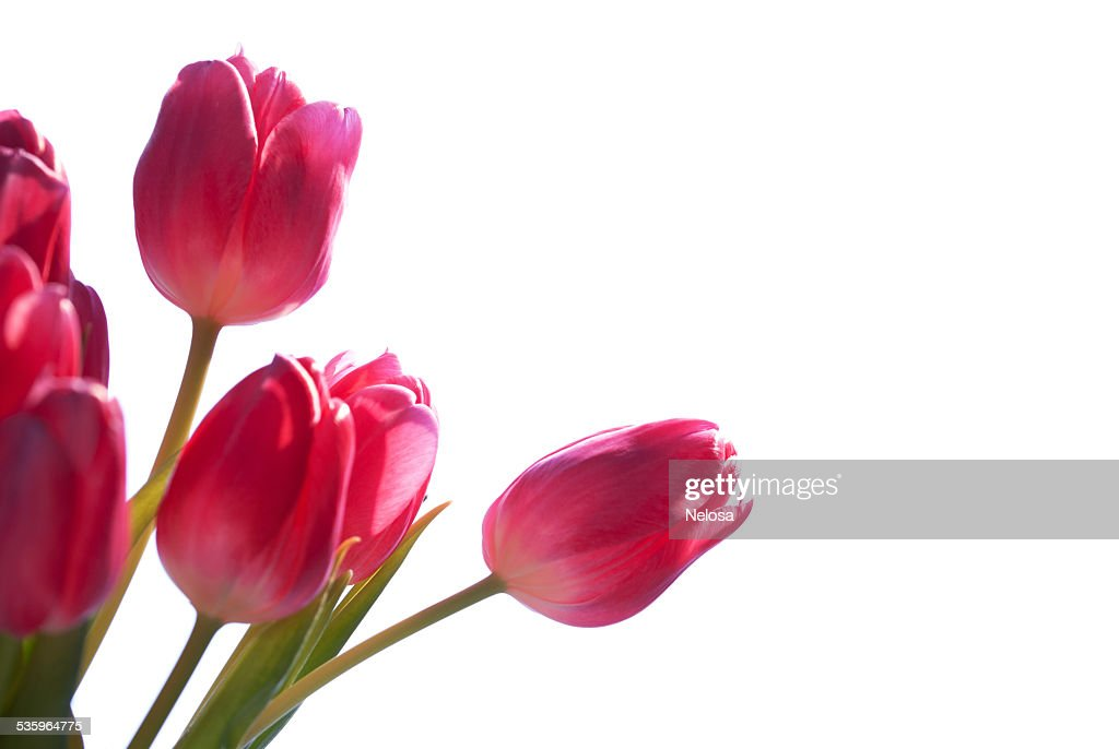 Close Up Of Tulip Bouquet Isolated With Copy Space : Stock Photo