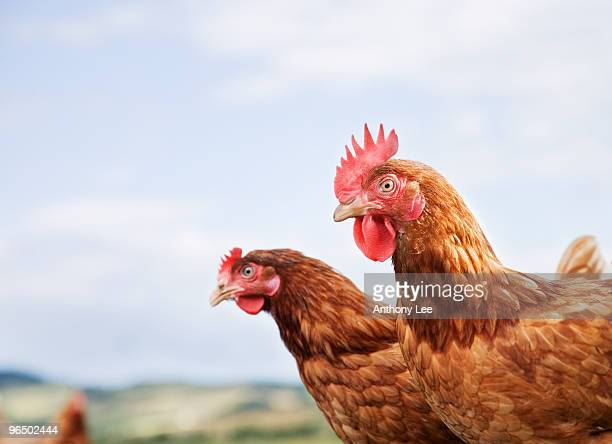 Close up of two chickens