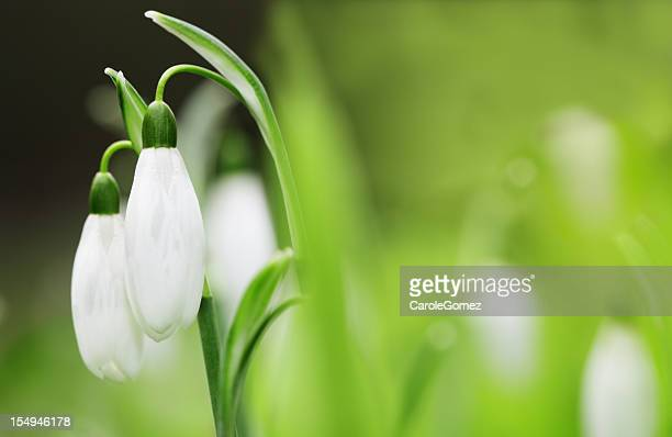 Close up of two snowdrops still on stem