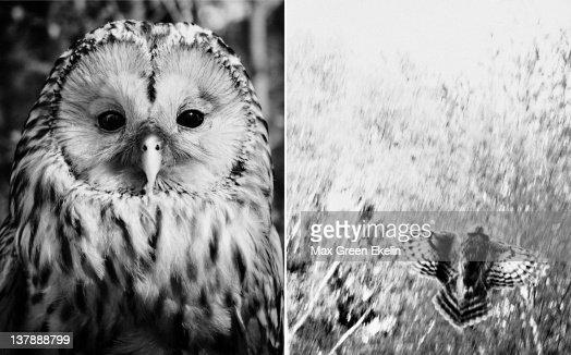 Close up of Ural owl