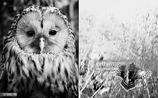 Close up of Ural owl